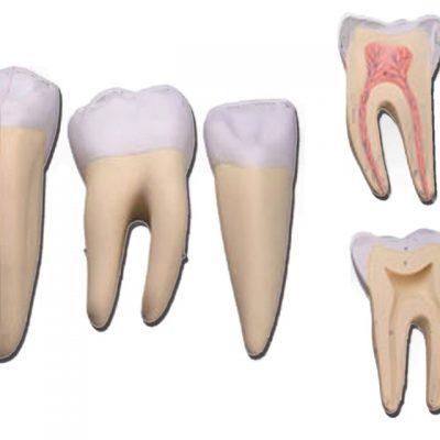 SET 3 DENTI canino molare incisivo