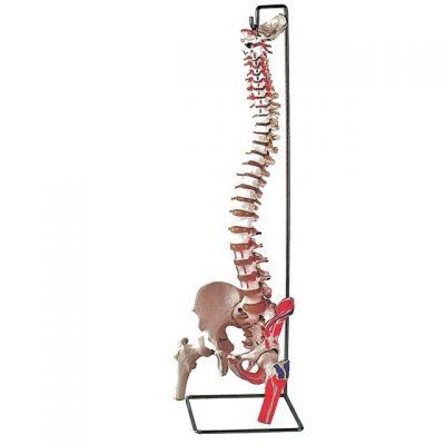 MODELLO COLONNA VERTEBRALE - con femore + muscolo