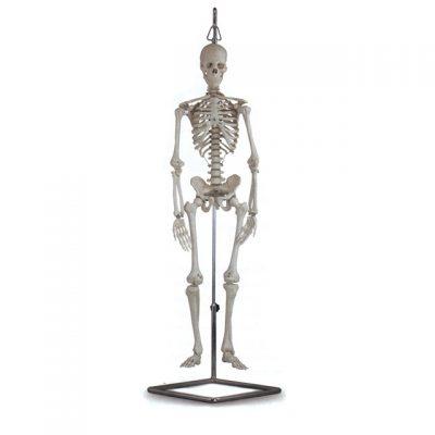 MODELLO MINI SCHELETRO,Altezza: 80 cm Peso: 1 5 kg.